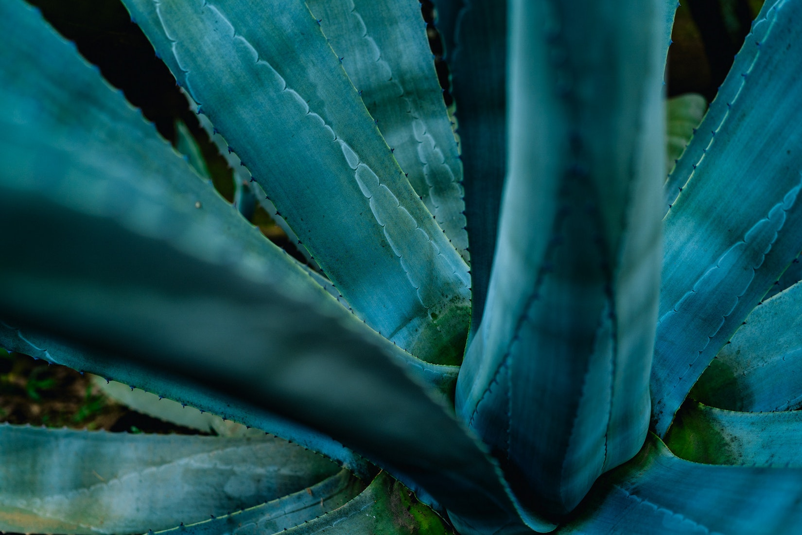 Close up of a big aloe plant