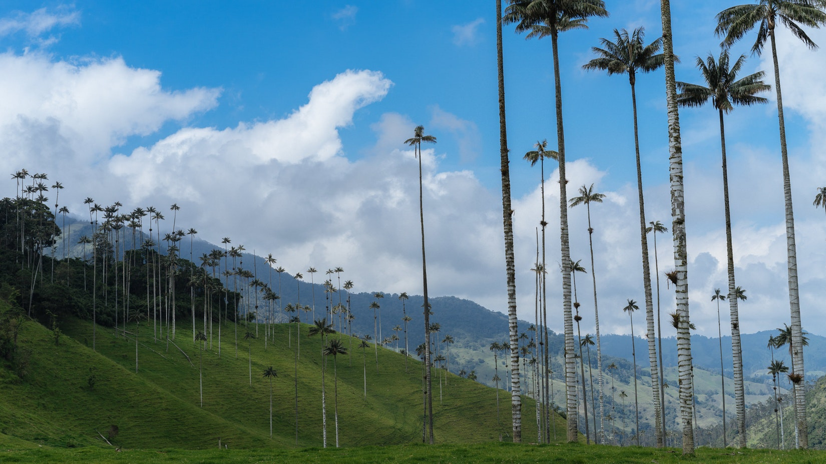 Tall palm trees in Salento, Colombia