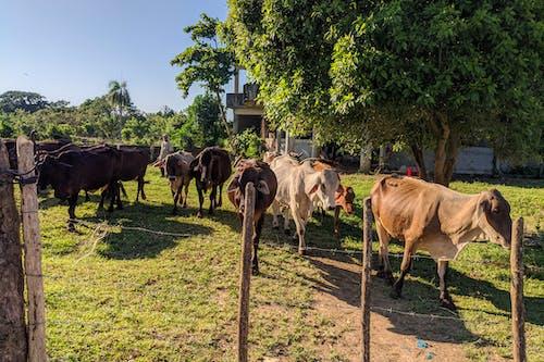 Rio San Juan Dominik Cumhuriyeti'nde otoyol boyunca bir çiftlikte otlayan inekler