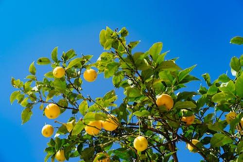 Canlı mavi gökyüzüne karşı sarı limonlu yapraklı limon ağacı