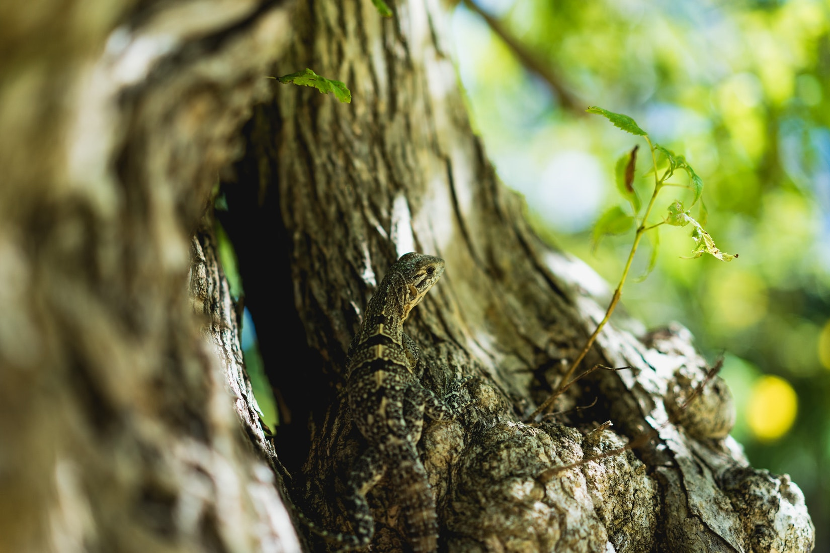 Lizard in a tree at the Chichen Itza national park in Mexico