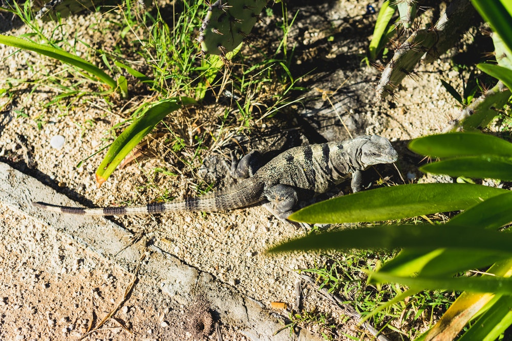 An iguana hanging out in the Tulum Ruins