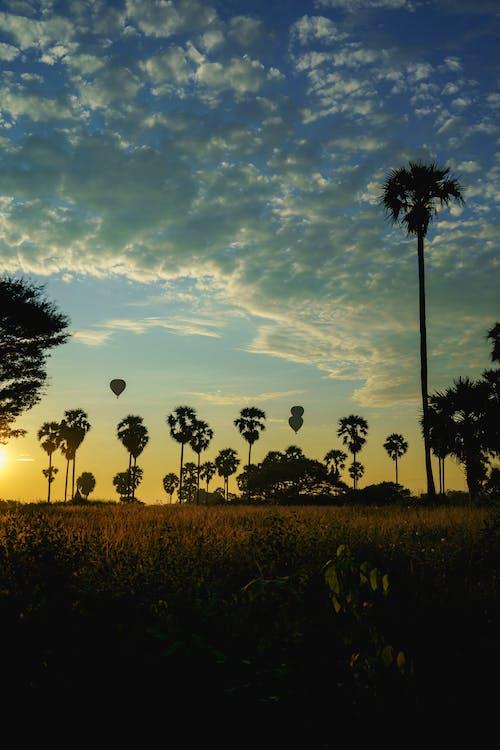 Gün doğumunda bir tarladaki palmiye ağaçları ebike Bagan Myanmar Burma tarafından keşfediliyor