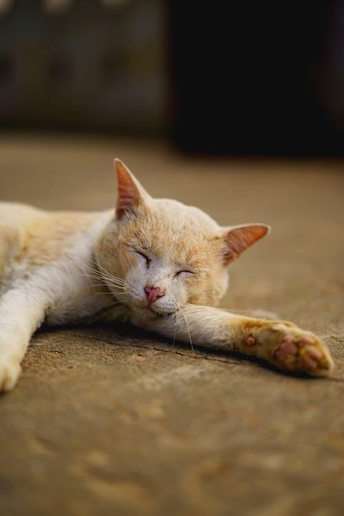 Budist tapınağı Bu Paya Pagoda Bagan Myanmar Burma'da uyuyan kedi
