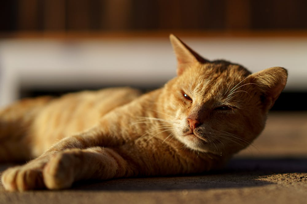 Yellow tabby cat laying down at a Buddhist monastery at Inle Lake Myanmar