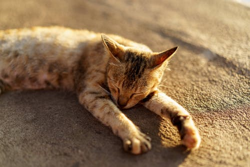 Tekir kedi Jumping Cat Manastırı Inle Lake Myanmar'da uyuyor