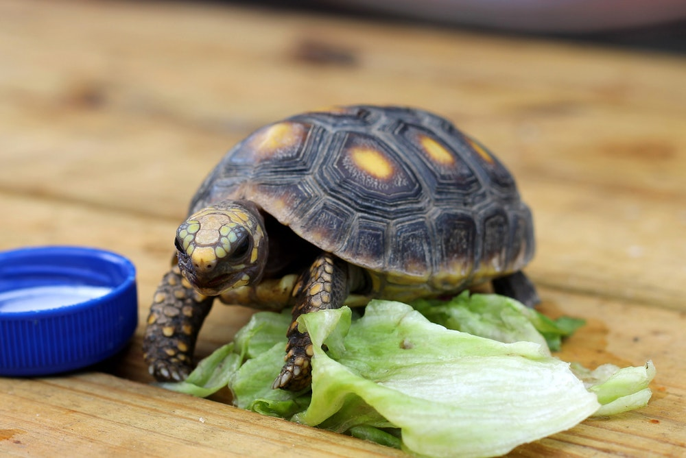 Turtle eating lettuce