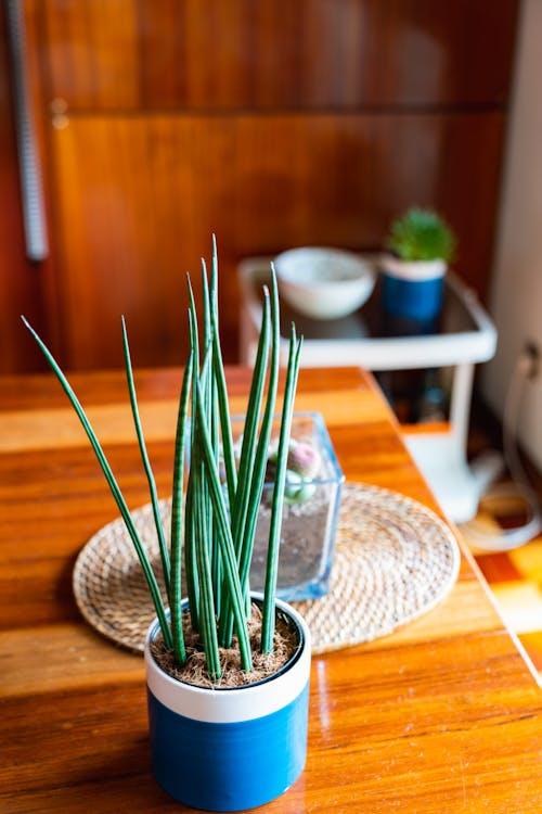 Yemek odasındaki hafif ahşap masanın üzerinde mavi bir tencerede etli kaktüs bitkisi.