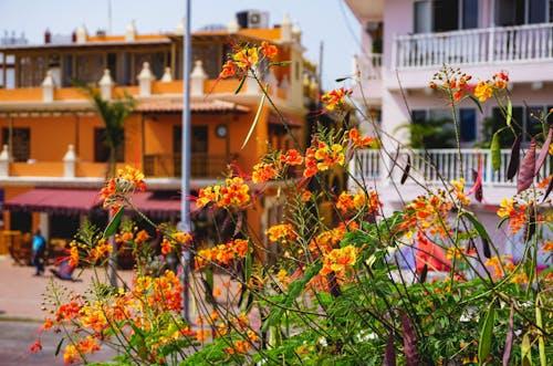 Küçük portakal çiçekleri ve turuncu ve beyaz kolonyal balkonlu binalar