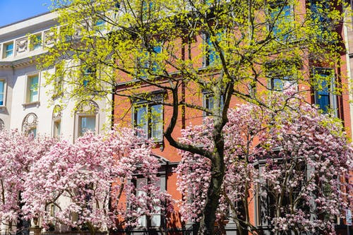 Boston'daki beyaz ve kırmızı tuğlalı tarihi binaların yakınındaki ağaçlarda çiçek açan pembe çiçekler