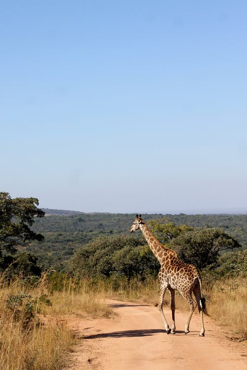 Afrika doğal yaban hayatında safari sırasında zürafa nişan