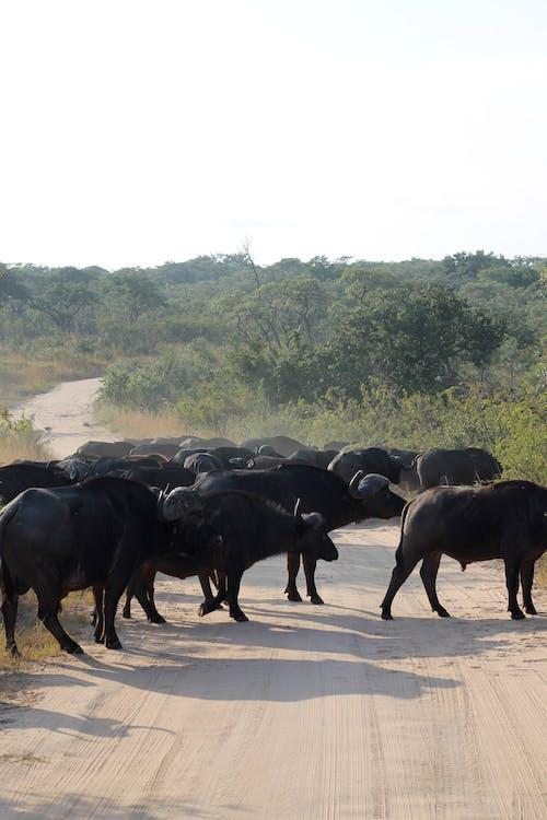 Afrika'da bir safaride görülen manda sürüsü