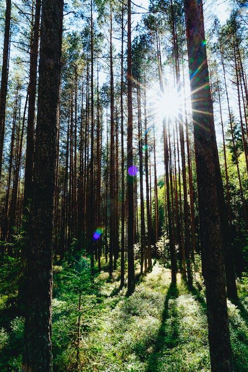 Bataklıktaki uzun ve dar ağaçların arasından gelen güneş parlaması ve mercek parlaması