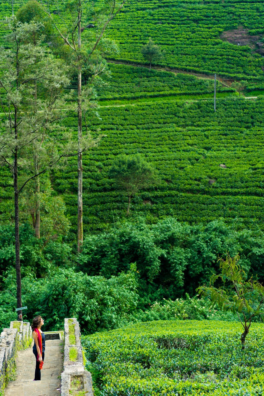 Rolling green tea hills in Sri Lanka with women with a red dress