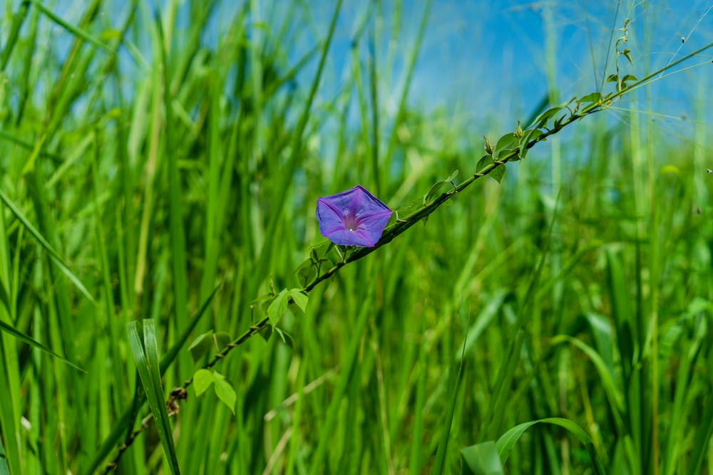 Purple flower in a green field