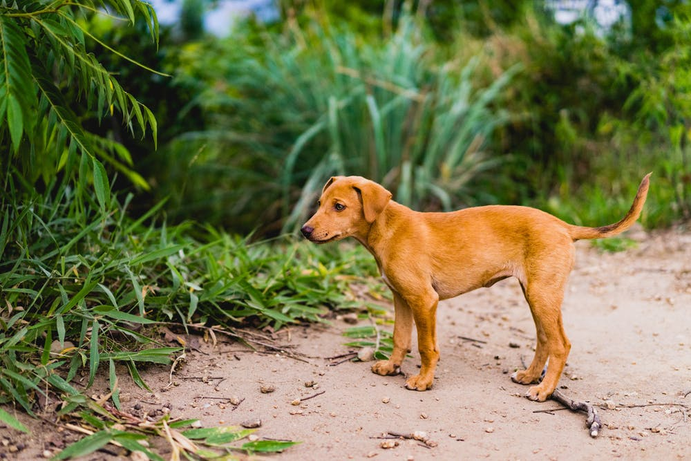 Cute young brown puppy in Sri Lanka