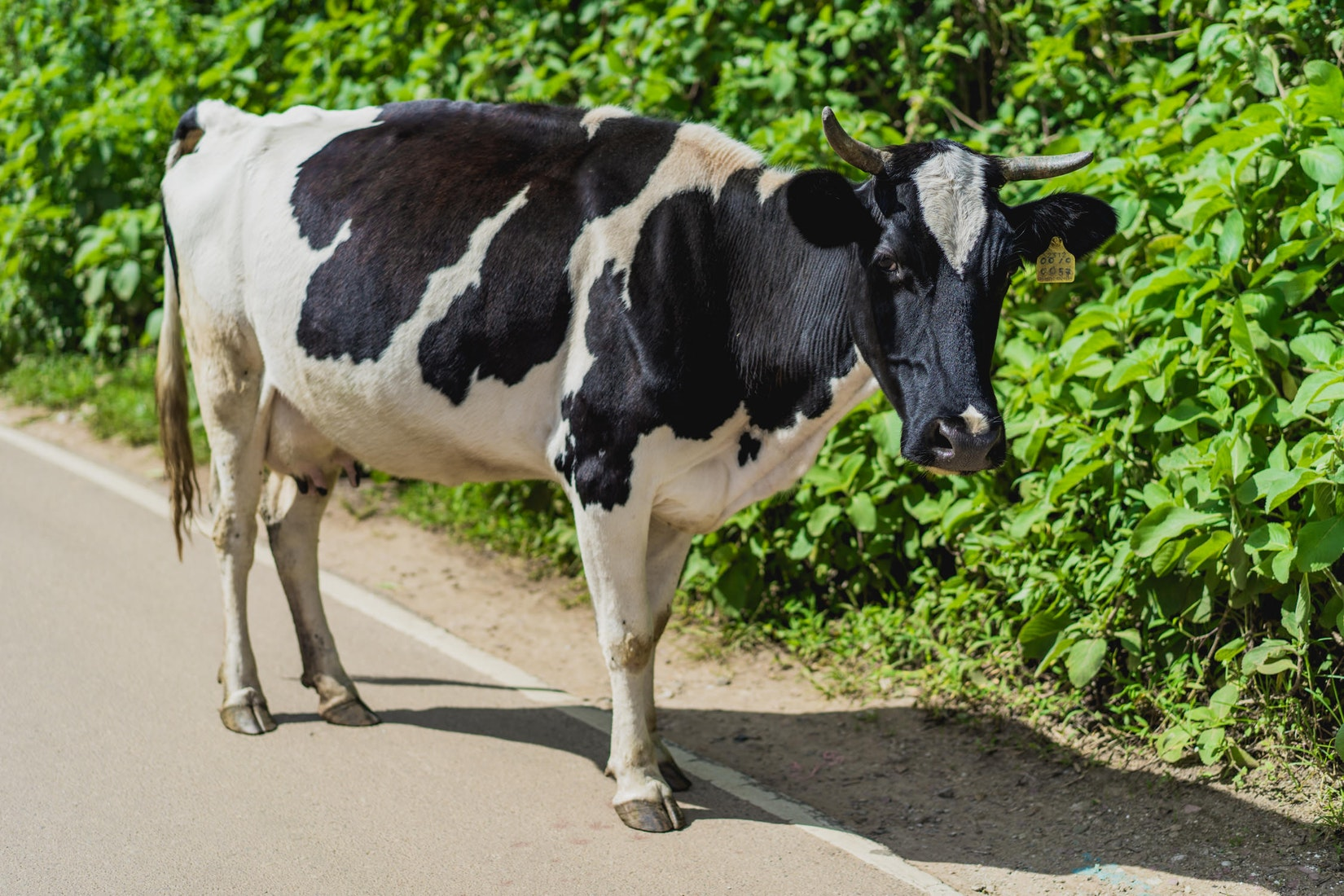 A cow in the road