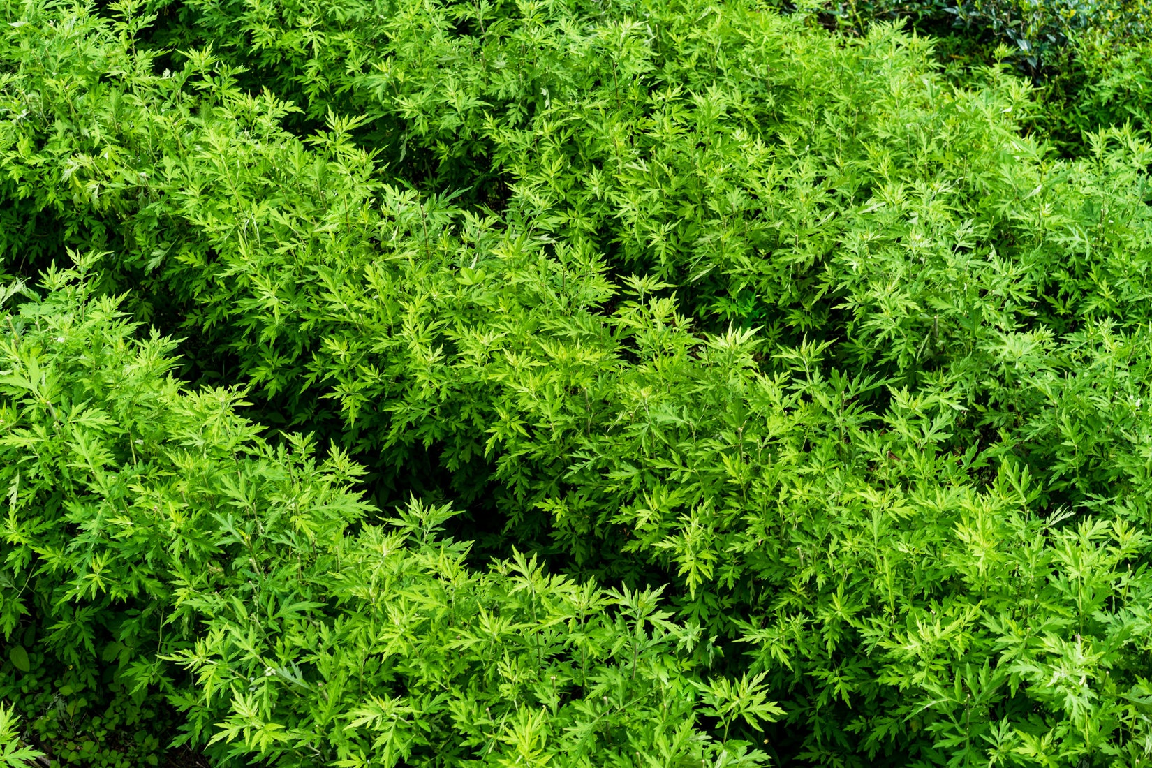 Rows of tea plants