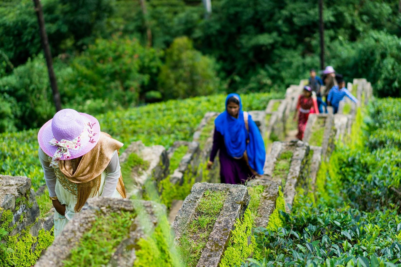 People walking through the rows of tea